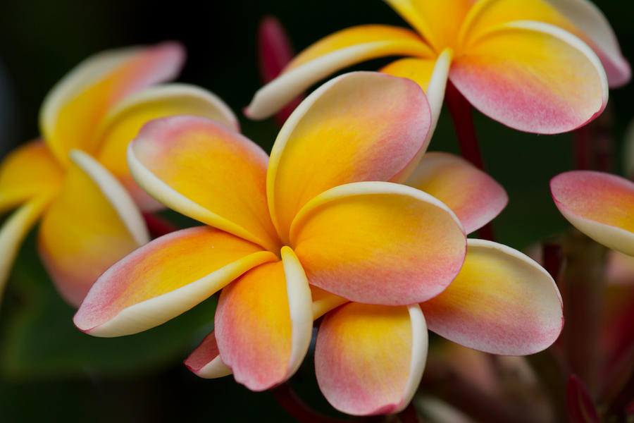 orange and pink plumeria photograph by roger mullenhour