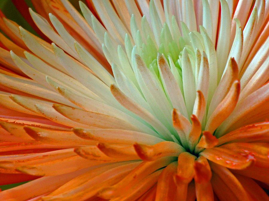 Close Up Photograph - Orange And White Chrysanthemum by Richard Singleton