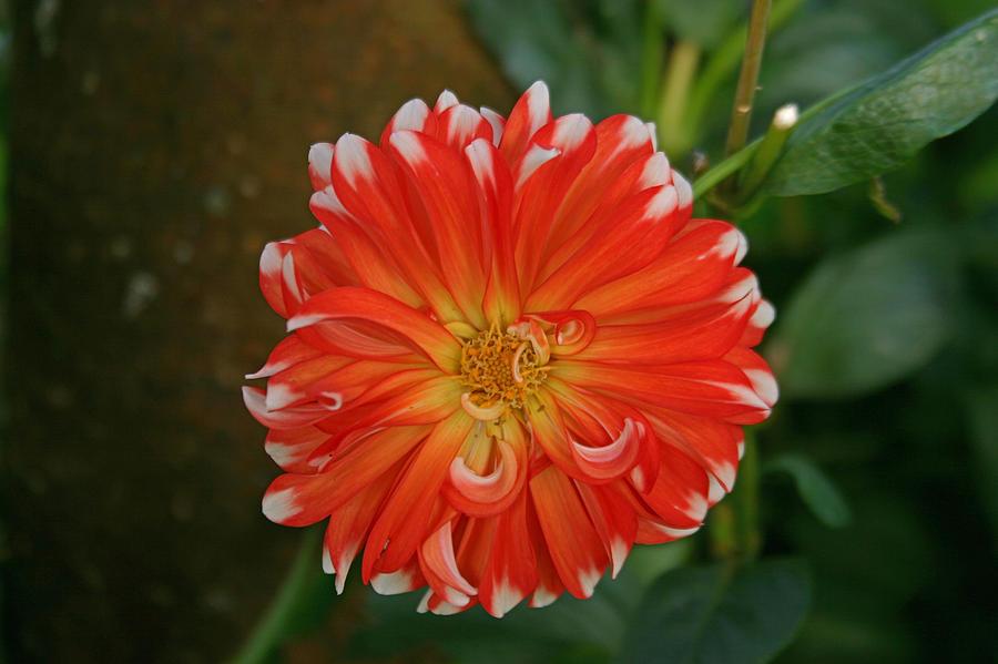 Flowers Photograph - Orange And White by Hugh Carino