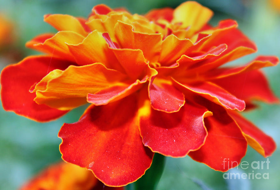 Marigold Photograph - Orange And Yellow Marigold by Judy Palkimas