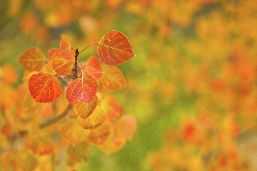 Orange Aspen With An Orange And Green Photograph by Ronda Kimbrow Photography
