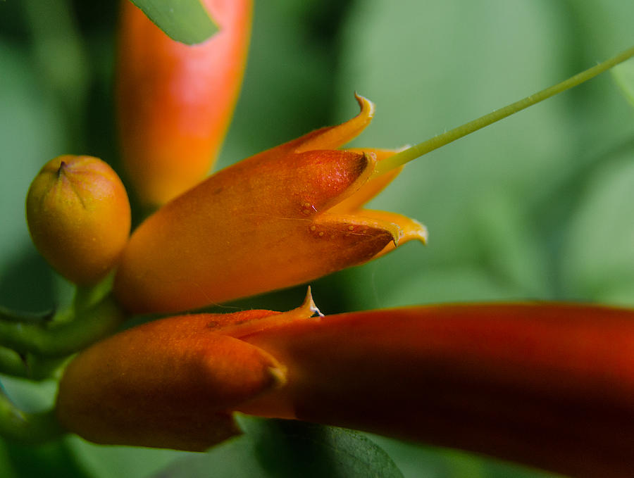 Orange Flower Photograph - Orange Blossom by Don L Williams