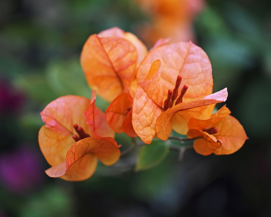 Bougainvillea Photograph - Orange Bougainvillea by Rona Black