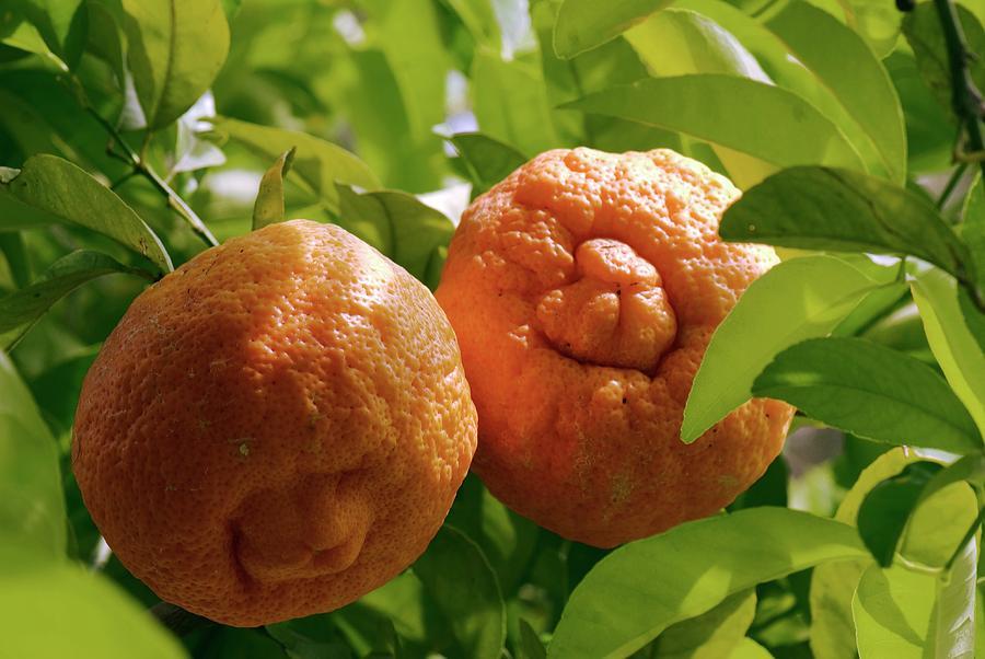 Nobody Photograph - Orange (citrus Sinensis) Tree In Fruit by Adrian Thomas