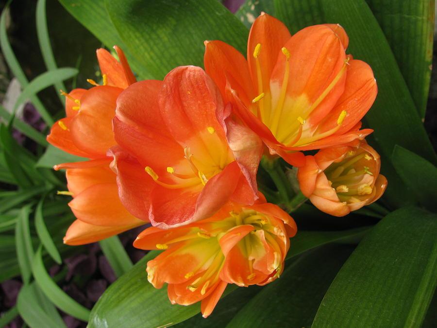 Clivia Photograph - Orange Clivia by Alfred Ng