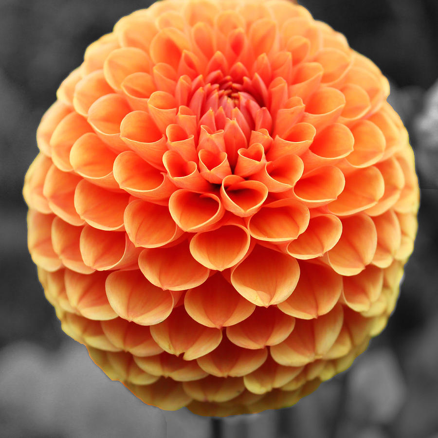 Orange Dahlia Photograph By Sumit Mehndiratta