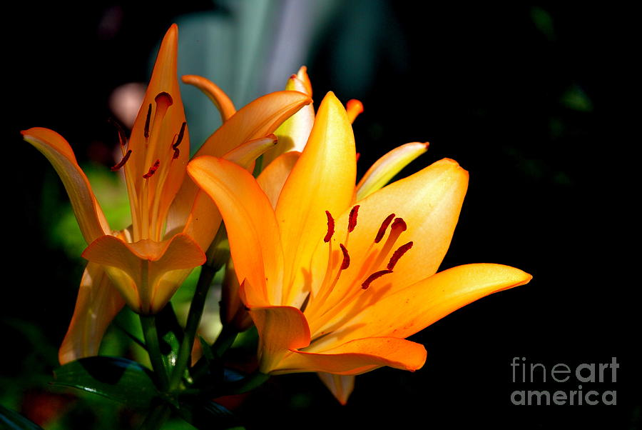 Orange Day Lily Photograph