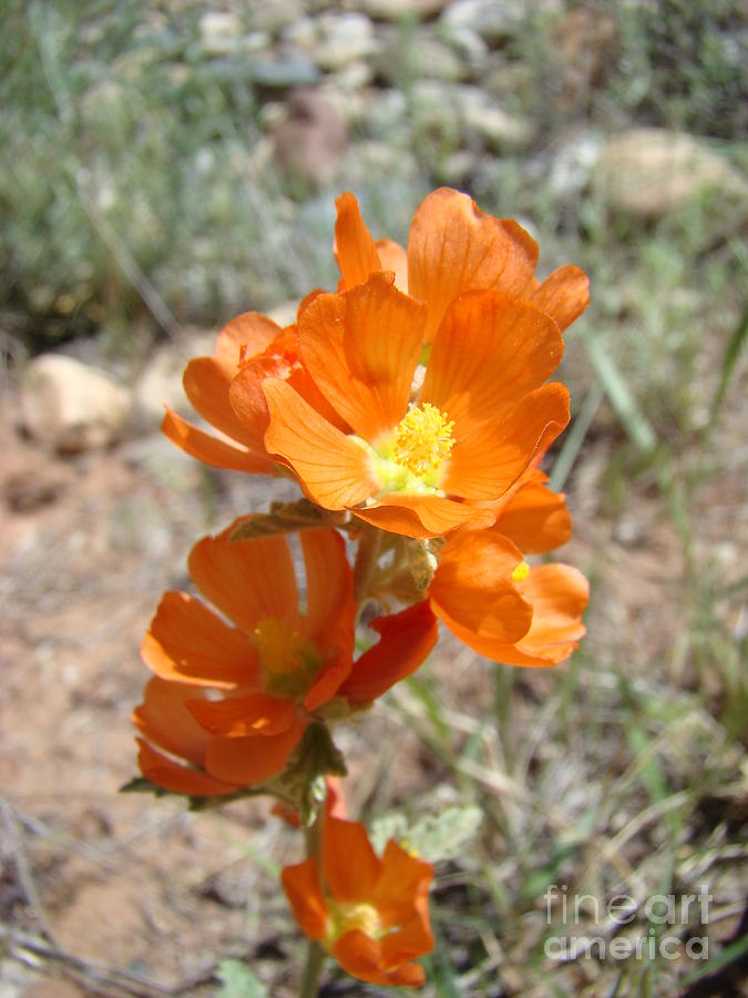 Orange Photograph - Orange Desert Flower by Sherry Vance