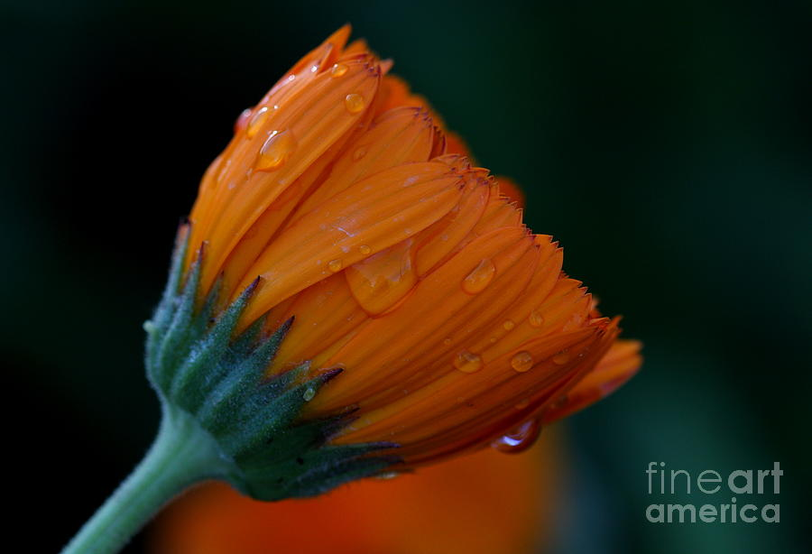 Orange Photograph - Orange Dream by Ruth Jolly