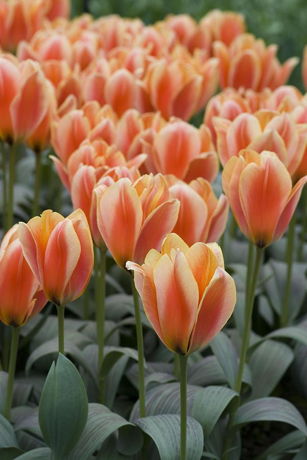 Bloom Photograph - Orange Dutch Tulips by Juli Scalzi