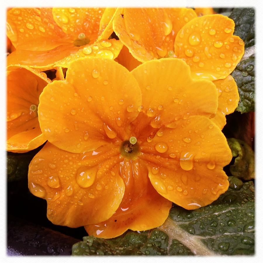 Orange Photograph - Orange flower with water drops by Matthias Hauser