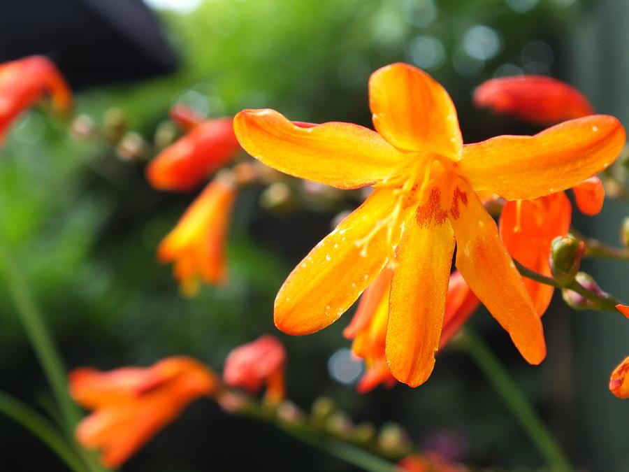 Macro Photograph - Orange Flowers by Jason Davies