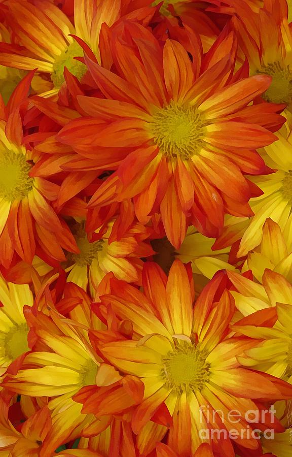 Yellow Digital Art - Orange Gazania by Peter Piatt