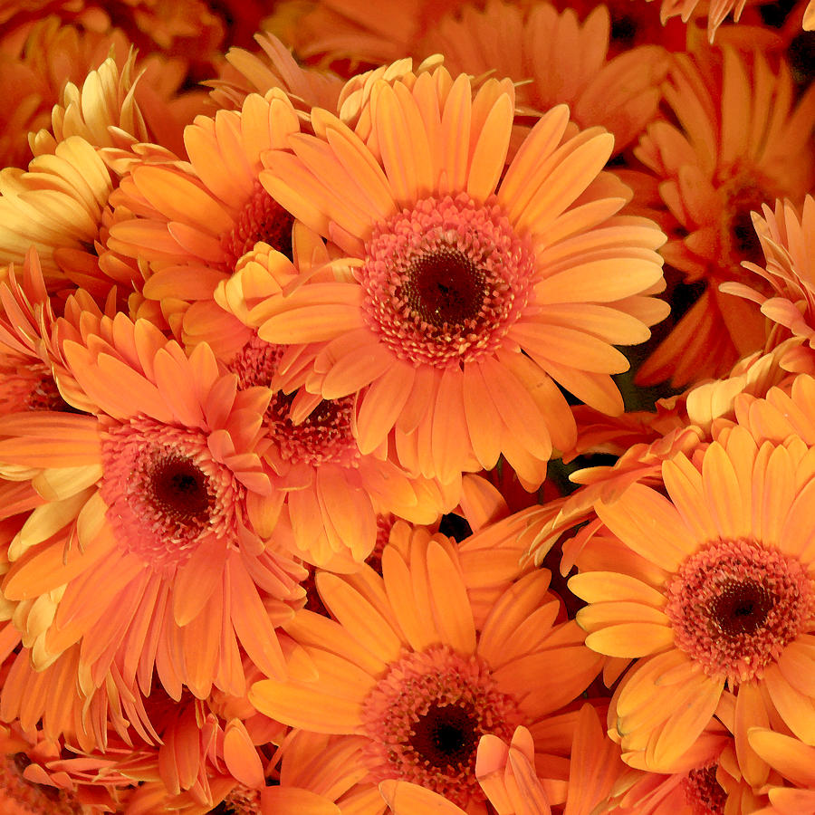 Orange gerbera daisies photograph by art block collections gerbera daisies photograph orange gerbera daisies by art block collections izmirmasajfo