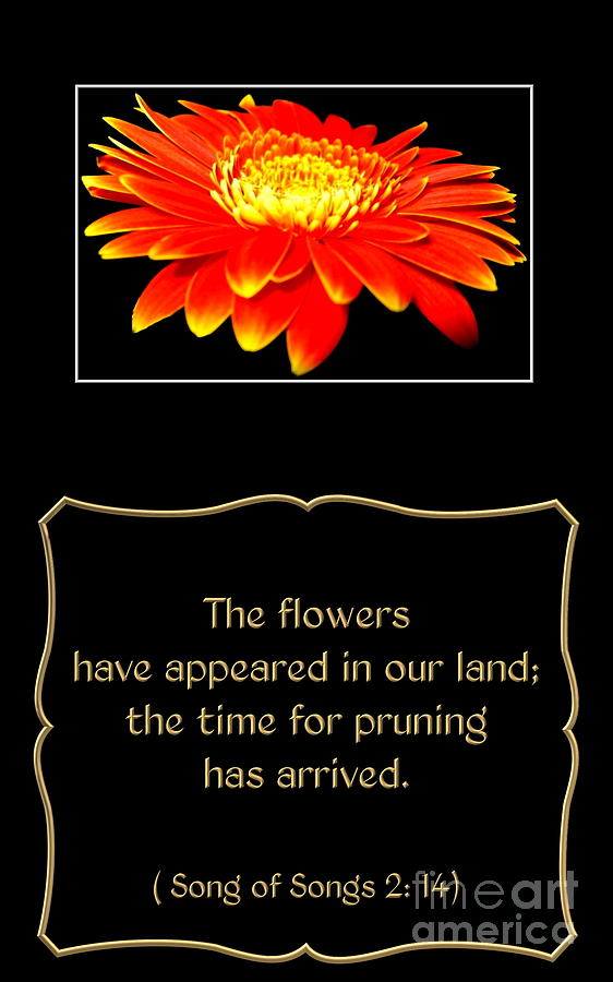 Orange Gerbera Daisy With Song Of Songs Quote
