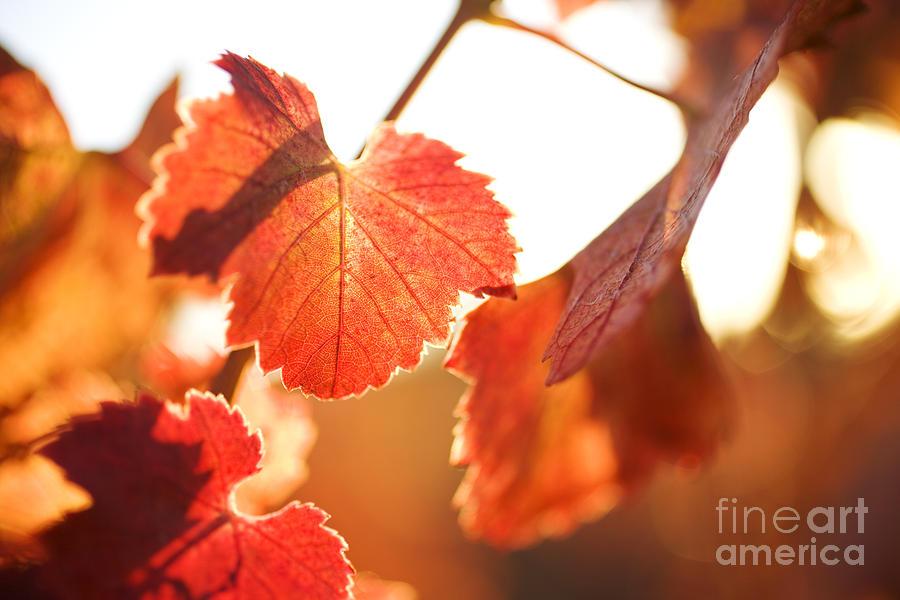 California Photograph - Orange Grapevine Leaves by Charmian Vistaunet