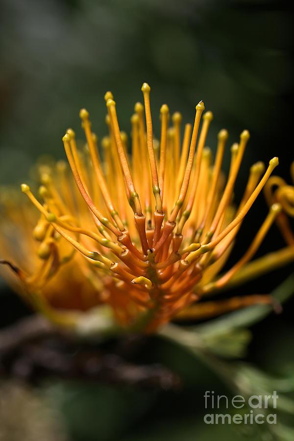 Grevillea Photograph - Orange Grevillea by Joy Watson