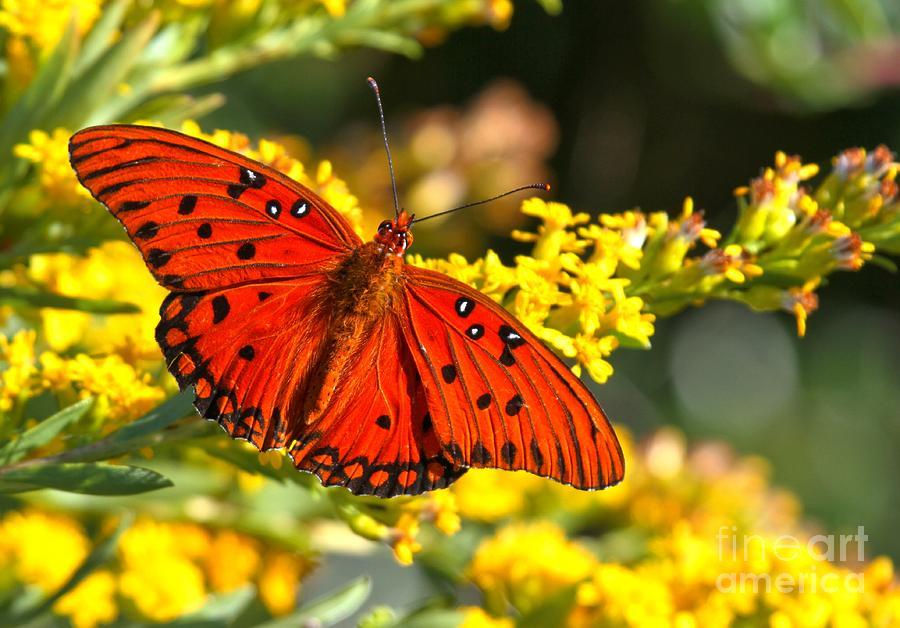 Gulf Fritillary Photograph - Orange Gulf Fritillary by Adam Jewell