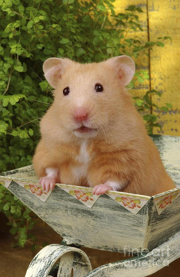 Hamster Digital Art - Orange Hamster Ha106 by Greg Cuddiford