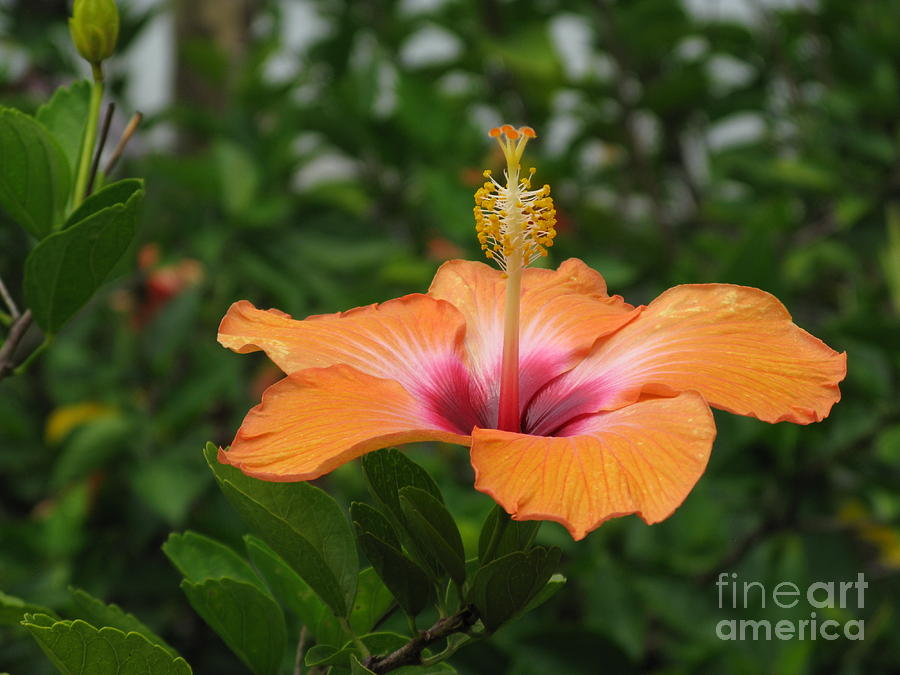 Floral Photograph - Orange Hibiscus Blossom by Ausra Huntington nee Paulauskaite