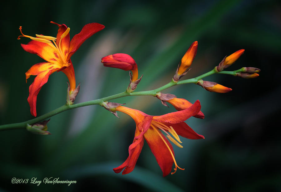 Orange Lily Photograph by Lucy VanSwearingen