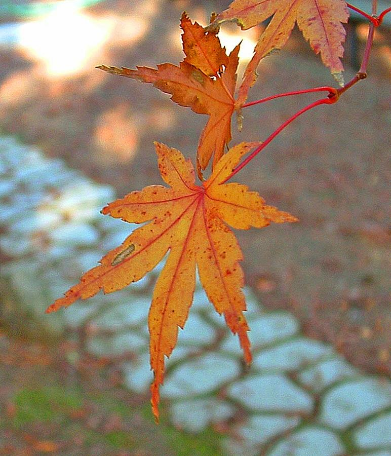 Tree Photograph - Orange Maple Leaves by Lorna Hooper