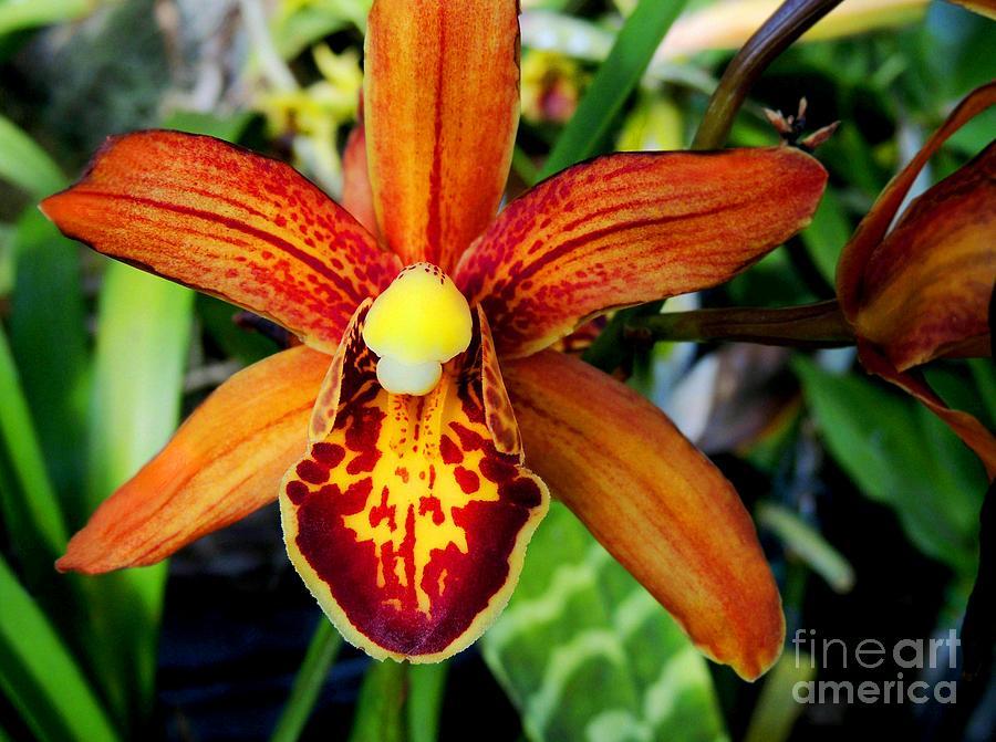 Orchid Photograph - Orange Orchid by Kristine Merc