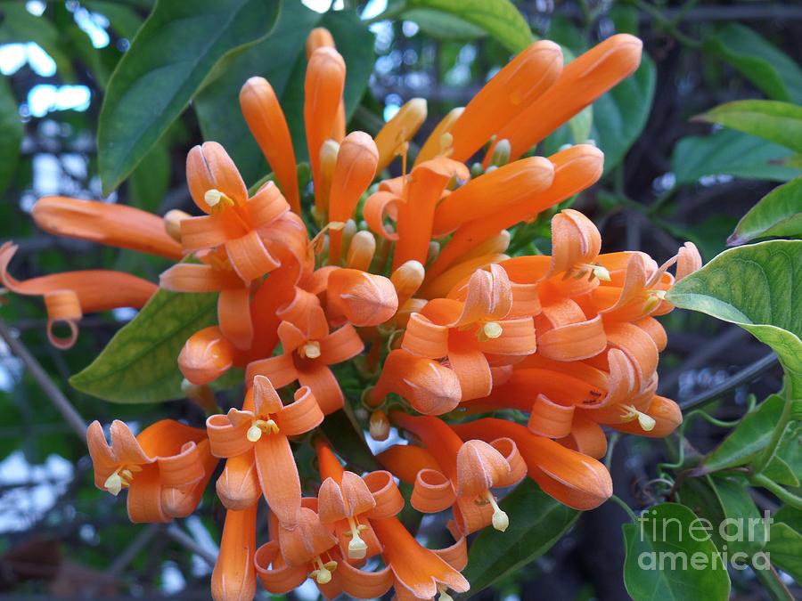 Orange Petals by HEVi FineArt