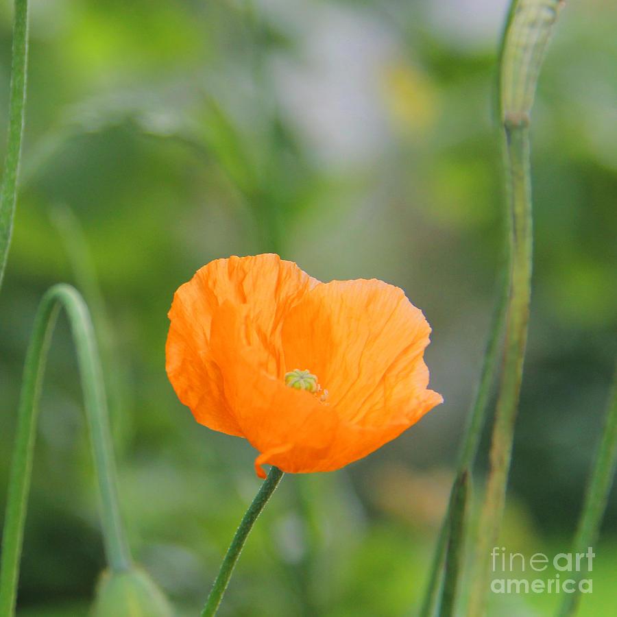 Orange Photograph - Orange Poppy #2 by Karin Ubeleis-Jones