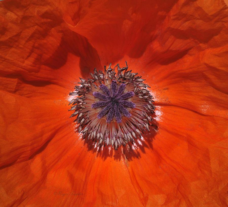Orange Photograph - Orange Poppy  by Roger Snyder