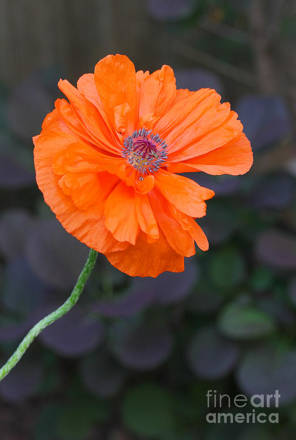 Poppy Photograph - Orange Poppy by Steve Augustin