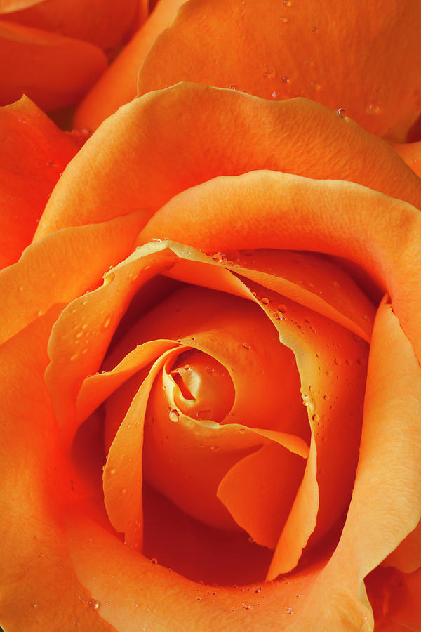 Orange Rose Close Up With Dew Photograph by Garry Gay