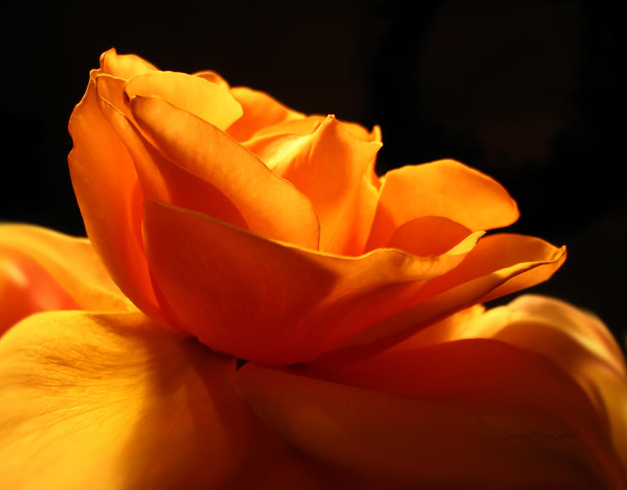 Rose Photograph - Orange Rose Glowing In The Night by Jennie Marie Schell