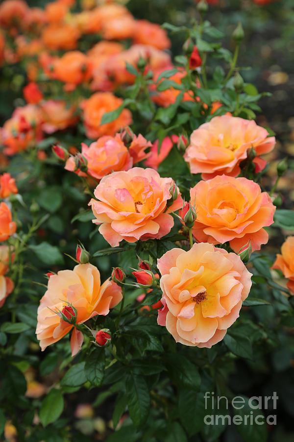 Rose Photograph - Orange Roses by Carol Groenen