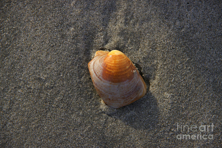 Seashells Photograph - Orange Seashell by Michael Mooney