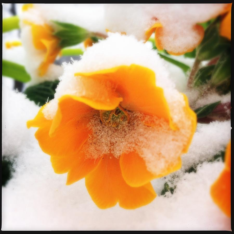 Flower Photograph - Orange Spring Flower With Snow by Matthias Hauser