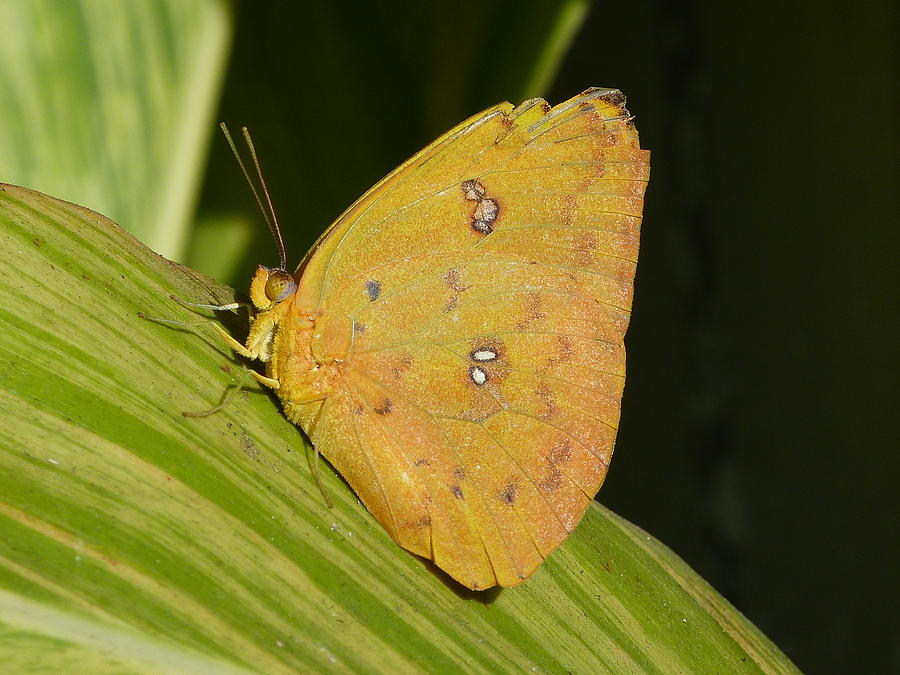 Orange Sulphur Photograph - Orange Sulphur by Krista Keck