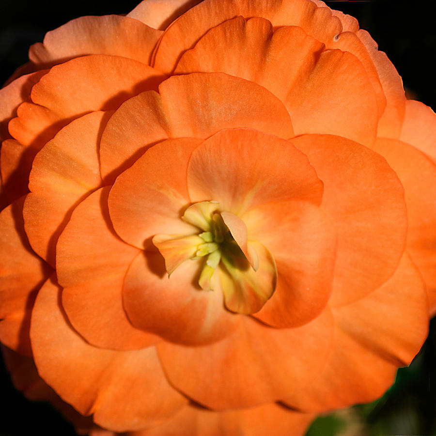 Flowers Photograph - Orange Tuberous Begonia by Carole-Anne Fooks