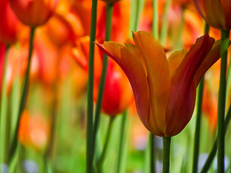 Orange Tulip Garden by Eva Kondzialkiewicz