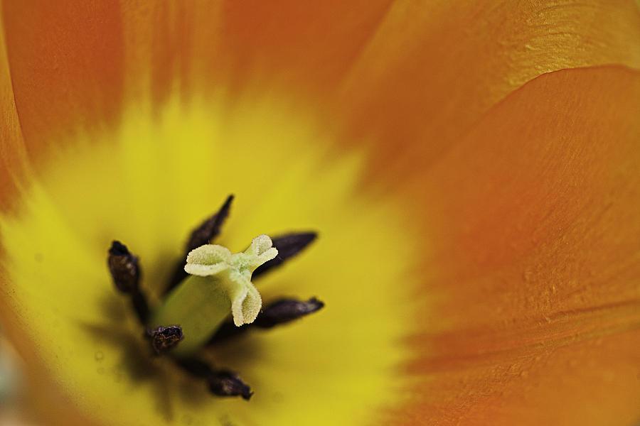 Orange Photograph - Orange Tulip Macro by Lesley Rigg
