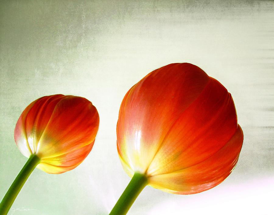 Tulip Photograph - Orange Tulip Pops by Julie Magers Soulen