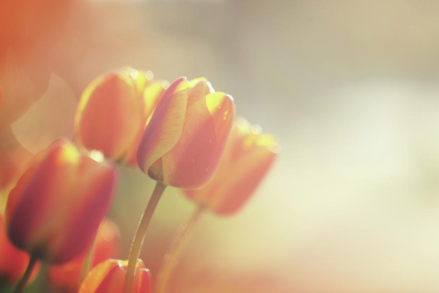 Orange Tulips At Sunset Photograph by Carlina Teteris