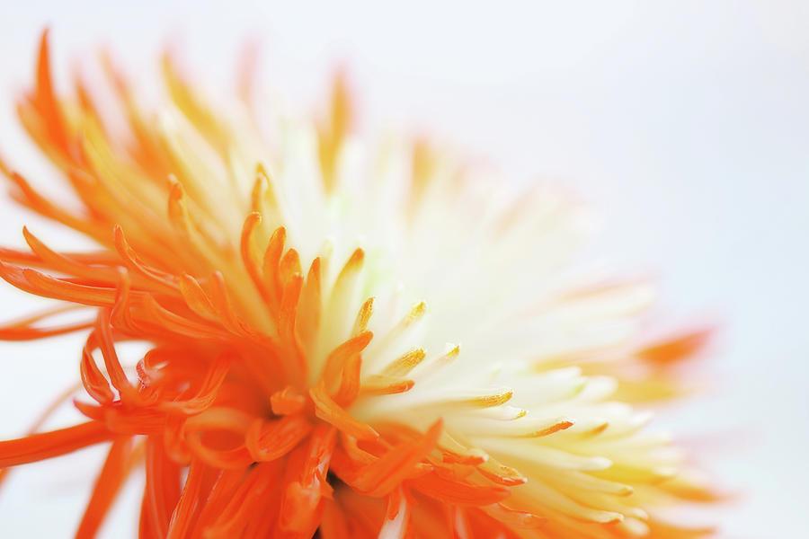 Daisy Photograph - Orange Whisper by Lisa Knechtel