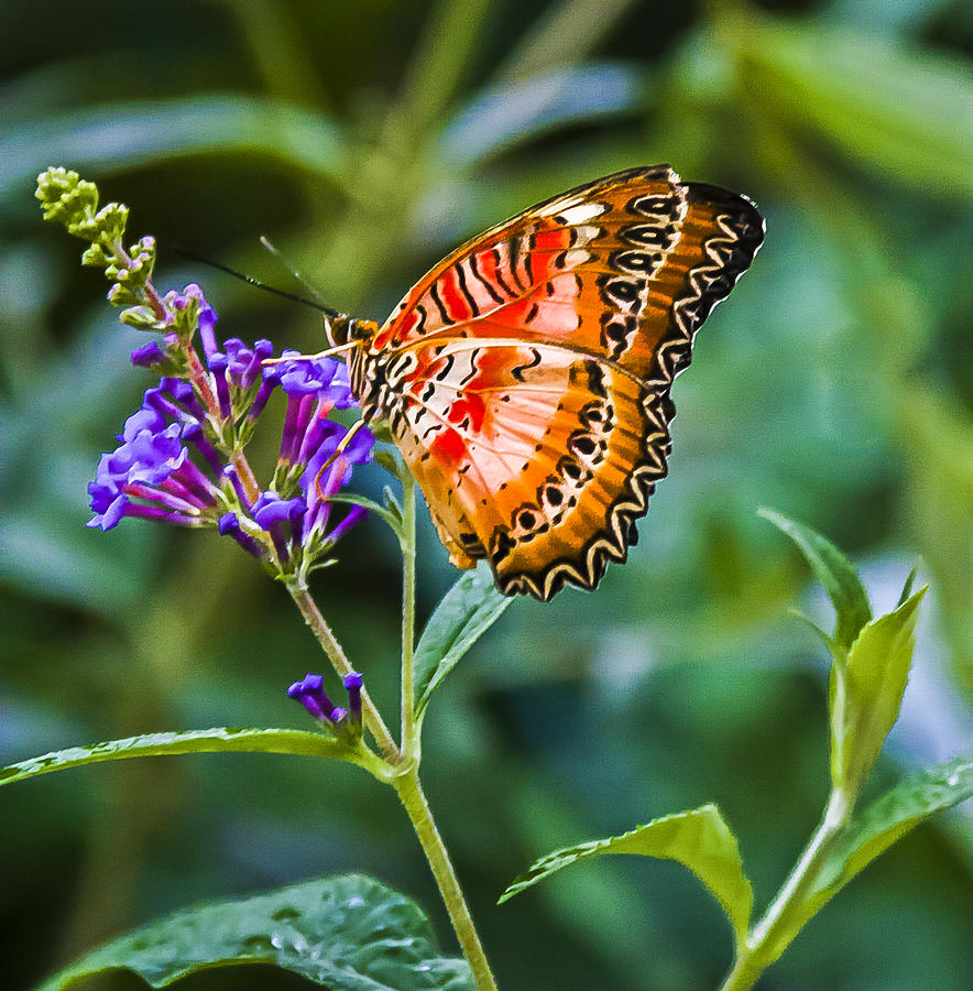 Butterflies Photograph - Orange White And Black Stripes On Purple by Karen Stephenson