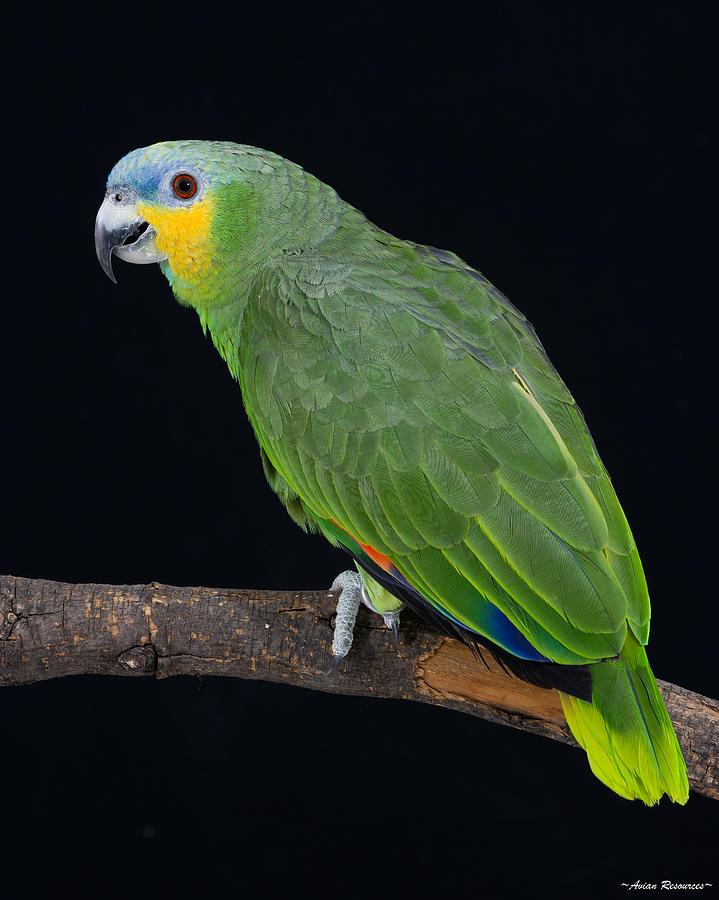 Orange-wing Amazon on Black by Avian Resources