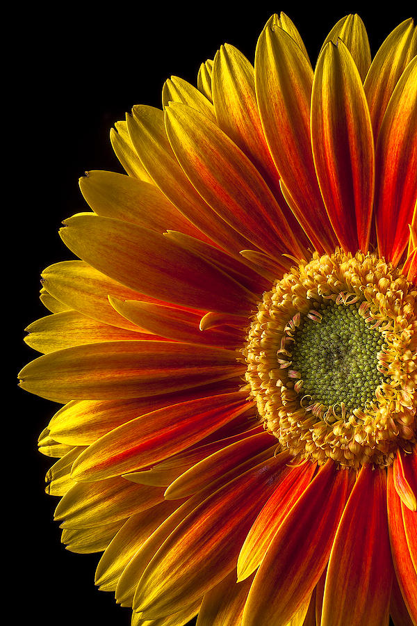 Gerbera Photograph - Orange Yellow Mum Close Up by Garry Gay