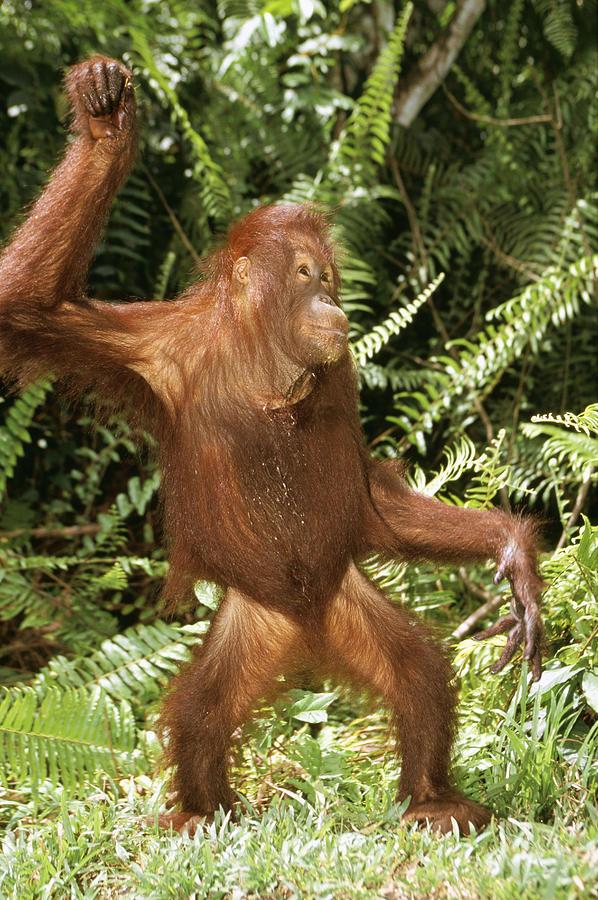 Orangutan Dancing Photograph by M. Watson