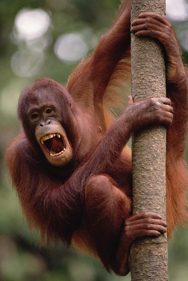 Borneo Photograph - Orangutan Hanging On Tree by Gerry Ellis