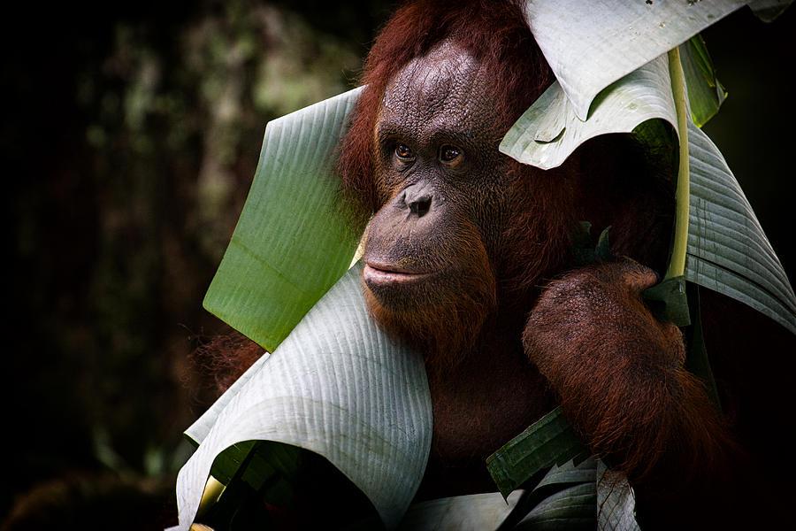 Orangutan Photograph - Orangutan by Zoe Ferrie