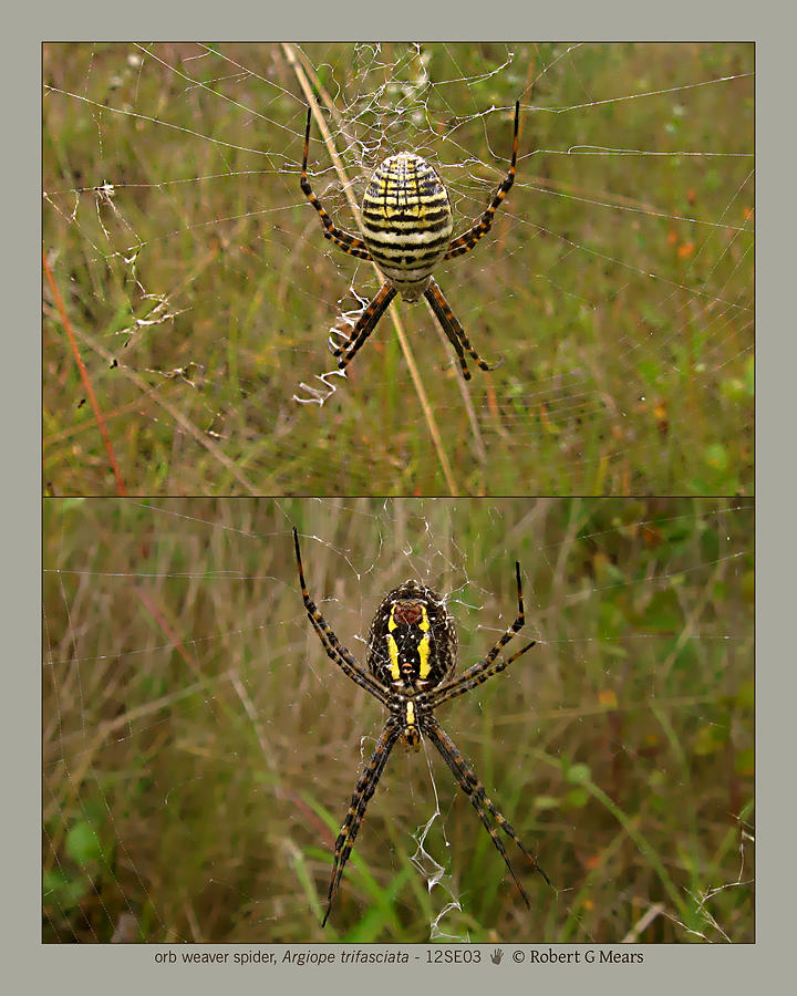 Orb Weaver Spider Photograph - orb weaver spider - Argiope trifasciata - 12SE03 by Robert G Mears